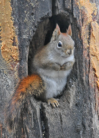"""<div class=""""jaDesc""""> <h4>Red Squirrel in Suet Log - January 7, 2019</h4> <p>Love those tucked paws, bushy red tail, and devilish ear tufts!</p>  </div>"""