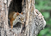 """<div class=""""jaDesc""""> <h4> Red Squirrel on Alert - June 10, 2014</h4> <p> He would look outside the hole periodically to make sure it was safe to stay inside.</p>  </div>"""