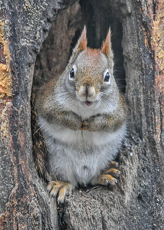 """<div class=""""jaDesc""""> <h4>Red Squirrel Looking at Me - January 7, 2019</h4> <p></p>  </div>"""