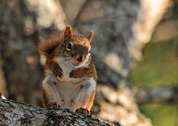 """<div class=""""jaDesc""""> <h4> Red Squirrel on Tree Branch - October 11, 2011 </h4> <p> While I was walking along a shaded path, this Red Squirrel scurried up a tree, climbed out on a large branch and posed right in front of me.</p> </div>"""