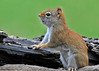 """<div class=""""jaDesc""""> <h4> Female Red Squirrel on Alert - April 24, 2014</h4> <p> About once a minute she would stopping eating briefly and scan the area for predators.</p>  </div>"""