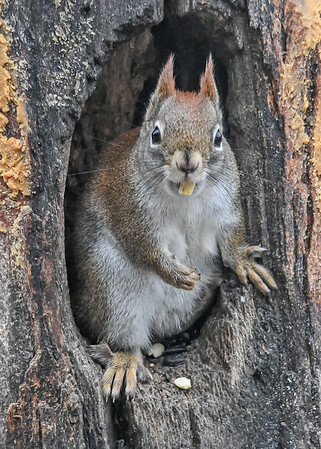 """<div class=""""jaDesc""""> <h4>Red Squirrel - Look No Paws - January 7, 2019</h4> <p></p>  </div>"""