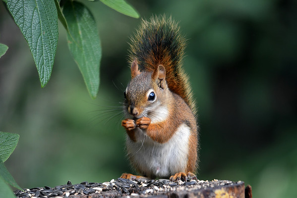 """<div class=""""jaDesc""""> <h4>Red Squirrel Eating Seed - Front View  - July 5, 2016</h4> <p>One of our Red Squirrel pair was enjoying the seed I sprinkle on top of the suet log.</p>  </div>"""