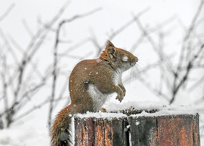 Red Squirrel Pausing to Say Grace - Dec 16, 2020