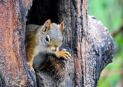 Red Squirrel Guarding Hole - May 16, 2018 I toss shelled peanuts into this tree trunk hole every morning.  This Red Squirrel's posture says they are all his now.