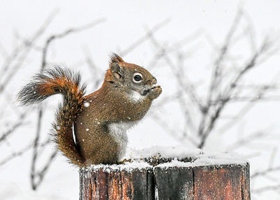 """Red Squirrel Eating Sunflower Seeds - Dec 16, 2020 At the snow started to fall during our 40"""" snow storm, our Red Squirrels smartly decided to tank up."""