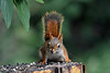 "<div class=""jaDesc""> <h4>Red Squirrel On Alert - July 5, 2016</h4> <p>When a Crow across the road gave an alarm call, this Red Squirrel immediately sprang into his alert posture and then jumped into the adjacent bush.</p>  </div>"