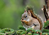 """<div class=""""jaDesc""""> <h4>Red Squirrel Chowing Down on Sunflower Seeds - May 2, 2017</h4> <p>He spent 10 minutes eating seeds, frustrating the Blue Jays who consider this spot their private dining table.</p>  </div>"""
