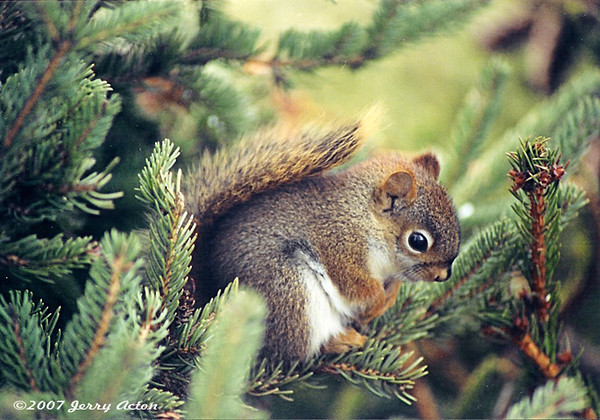 """<div class=""""jaDesc""""> <h4> Red Squirrel in Christmas Tree - January 2001 </h4> <p>I had just put our Christmas Tree outside as we were cleaning up after the holidays.  I sprinkled sunflower seeds in it to attract the birds.  I was thrilled when I saw this Red Squirrel tucked in among the branches the very next day.</p> </div>"""