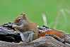 """<div class=""""jaDesc""""> <h4> Female Red Squirrel on Seed Log - April 24, 2014</h4> <p> This female Red Squirrel settled in for a lengthy lunch on the bird seed log.  I put out extra seed this time of year to please a pair of Red and Gray Squirrels.</p>  </div>"""