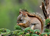 """<div class=""""jaDesc""""> <h4>Red Squirrel Saying Grace - May 2, 2017</h4> <p>I caught this Red Squirrel with his eyes closed just before nibbling on seeds.</p>  </div>"""