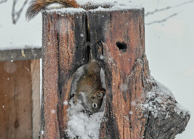 Red Squirrel Getting Another Seed - Dec 16, 2020 Down into the Woodpecker hole log segment to get another seed.