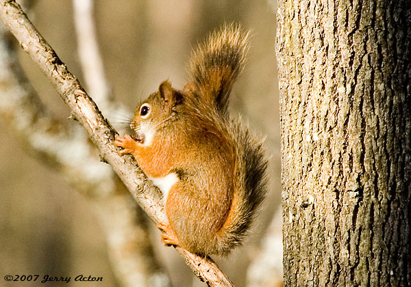 """<div class=""""jaDesc""""> <h4> Red Squirrel on Sunny Morning Perch - October 27, 2006 </h4> <p> I pass this tree every morning when I walk the dogs.  I saw this Red Squirrel moving around this ash tree, so I returned with my camera.  He posed nicely for me.</p> </div>"""