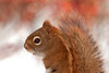 """<div class=""""jaDesc""""> <h4> Red Squirrel Posing - March 25, 2011 </h4> <p> This little Red Squirrel is getting very tame. He came up to a seed feeder within 10 feet of me with no apparent fear.</p> </div>"""
