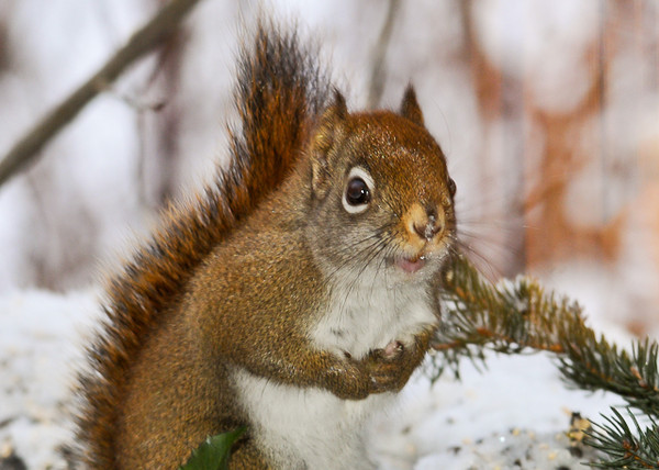 """<div class=""""jaDesc""""> <h4> Red Squirrel Checking Me Out - January 25, 2013 </h4> <p> When I adjusted the angle of my lens just a bit, this little Red Squirrel popped upright and stared at me for a few seconds.  Then he went back to eating. </p> </div>"""