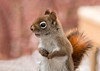 """<div class=""""jaDesc""""> <h4> Red Squirrel Sitting Up - February 3, 2013 </h4> <p> This little guy is getting to be a daily visitor.  He and the Gray Squirrel seem to have an agreement on who gets which feeder.</p> </div>"""