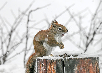 Red Squirrel - Mouth Open - Dec 16, 2020