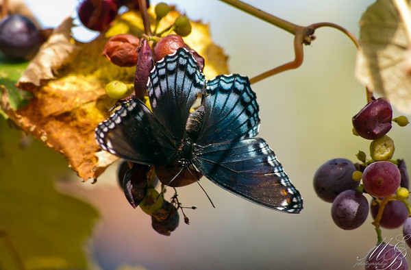 Red-spotted Purple on grapes