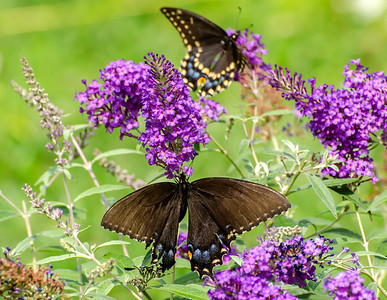 Spicebush Swallowtail with Black Swallowtail in background