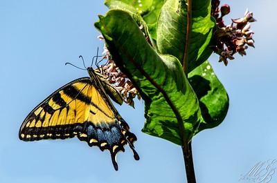 Eastern Tiger Swallowtail on Swamp milkweed