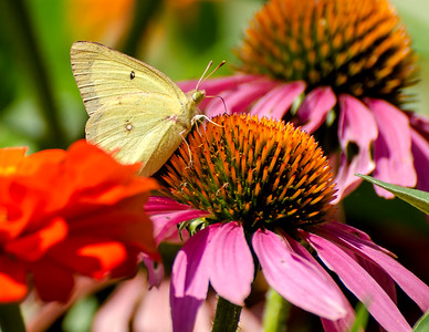 Clouded Sulphur Butterfly on Coneflower