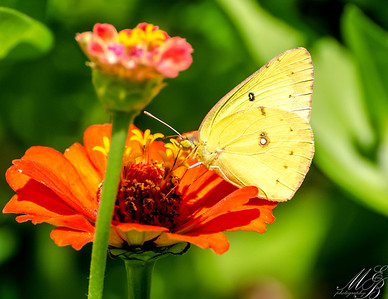 Clouded Sulphur Butterfly on Zinnia