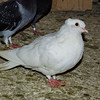 White Time Flight Pigeon
