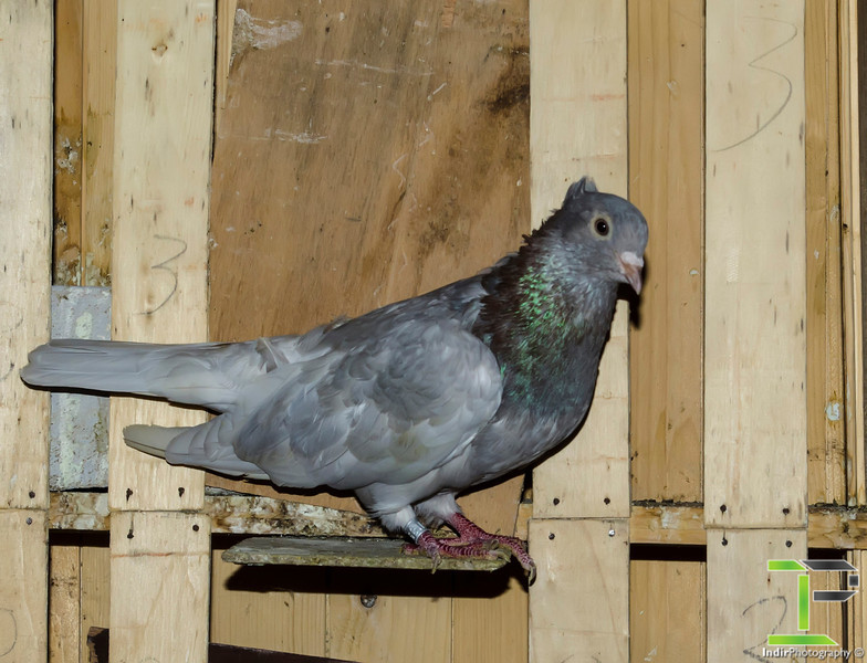 Time Flight Pigeon
