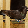 Brown Time Flight Pigeon