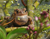"<div class=""jaDesc""> <h4> Toad Singing - May 11, 2014 </h4> <p> </p> </div>"