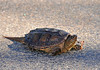 "<div class=""jaDesc""> <h4>Snapping Turtle Crossing Road - October 27, 2010 </h4> <p> While driving down a country road, I saw what looked like a large rock in the road ahead. Turned out it was a Snapping Turtle slowly working his way across.</p> </div>"