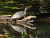 "<div class=""jaDesc""> <h4>Red-eared Turtle Sunning - September 21, 2010 </h4> <p> Along the Brandywine Creek in Delaware, this Red-eared Turtle crawled up on a log in the early morning sun.</p> </div>"