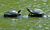 "<div class=""jaDesc""> <h4>Pair of Turtles Sunning - August 2006 </h4> <p> Later that same day, I was able to catch a pair of turtles sunning before they dove under the water. The one on the right is a red-eared turtle. </p> </div>"