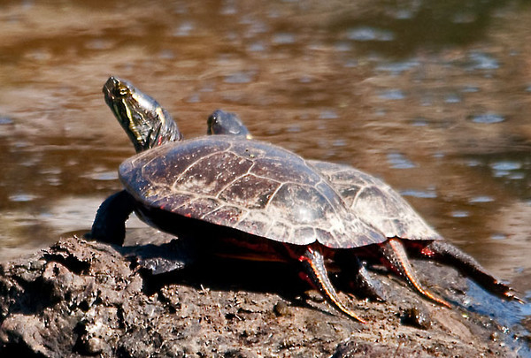 """<div class=""""jaDesc""""> <h4>Painted Turtles Sunning - April 20, 2012 </h4> <p> These 2 Painted Turtles were the largest of about 30 that were sunning themselves on logs at Brick Pond in Owego, NY. They all slid into the water when I got a bit too close.</p> </div>"""