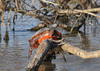 "<div class=""jaDesc""> <h4>Painted Turtle on Log - November 6, 2013 </h4> <p> This very large Painted Turtle was sprawled on a log in one of the ponds at Bombay Hook NWR in Delaware.  Several others turtles spooked at my presence, but this one was not fazed.</p> </div>"