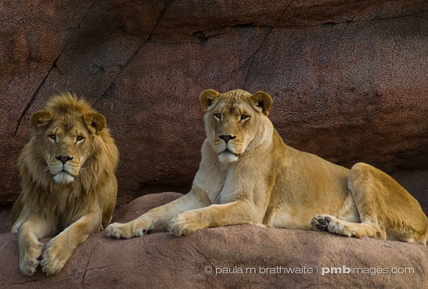 Lounging Lions after a long day...
