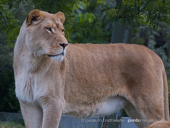 Lioness watching...