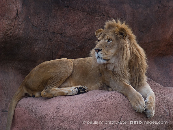 Lounging Lion after a long day...