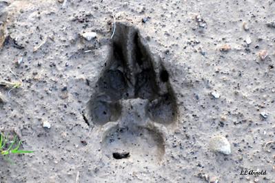 Coyote track - Elida 4-24-09