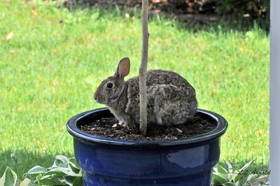 Rabbit enjoy some shade in my yard