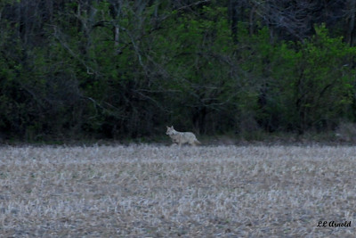 Early morning Coyote - Elida 4-24-09