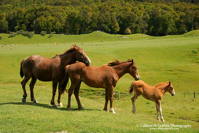 Horses in Paradise, New Zealand © 2007 Colleen M. Griffith. All Rights Reserved.  This material may not be published, broadcast, modified, or redistributed in any way without written agreement with the creator.  This image is registered with the US Copyright Office. www.colleenmgriffith.com www.facebook.com/colleen.griffith