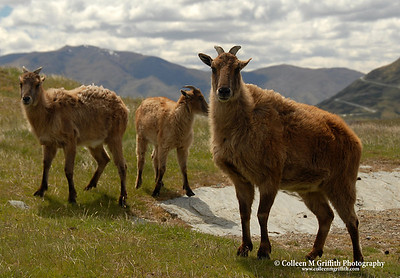 Himalayan Thar © 2007 Colleen M. Griffith. All Rights Reserved.  This material may not be published, broadcast, modified, or redistributed in any way without written agreement with the creator.  This image is registered with the US Copyright Office. www.colleenmgriffith.com www.facebook.com/colleen.griffith  These are agile goat like animals who originate from the Himalays.  They prefer rocky bluffs, steep faces and were released into the Southern Alps in 1904 from the UK.