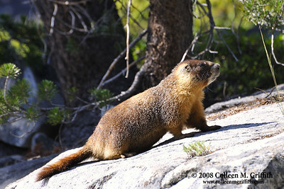 Yellow Bellied Marmot © 2008 Colleen M. Griffith. All Rights Reserved.  This material may not be published, broadcast, modified, or redistributed in any way without written agreement with the creator.  This image is registered with the US Copyright Office. www.colleenmgriffith.com www.facebook.com/colleen.griffith
