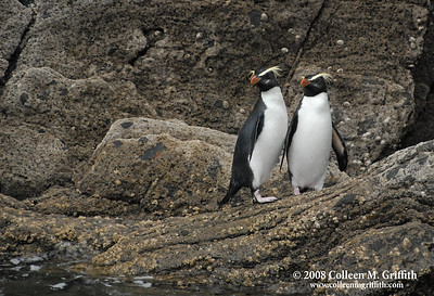 © 2007 Colleen M. Griffith.  Fiordland Crested Penguins in Milford Sound, New Zealand (aka the penguins in the movie Surf's Up)