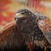 The red-tailed hawk is an awesome creature. this hawk has been rehabilitated and is now flying free over the mountains of North Carolina