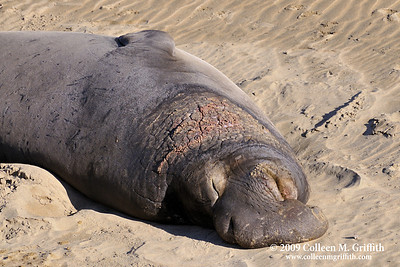Wild adult male Elephant Seal at Anno Nuevo State Park, California © 2009 Colleen M. Griffith. All Rights Reserved.  This material may not be published, broadcast, modified, or redistributed in any way without written agreement with the creator.  This image is registered with the US Copyright Office. www.colleenmgriffith.com www.facebook.com/colleen.griffith
