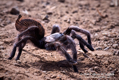 "On The Hunt ©  2010 Colleen M. Griffith. All Rights Reserved.  This material may not be published, broadcast, modified, or redistributed in any way without written agreement with the creator.  This image is registered with the US Copyright Office. Friend Colleen on Facebook  In honor of Halloween, I thought I would post a few more creepy spider shots.  :D  Since the Trick O' Treaters are coming out this evening, my husband put out a larger-than-life fake tarantula and that reminded me of my other un-processed tarantula shots.  This photo of a wild tarantula was captured during one of my excursions to Mt. Diablo State park in September of this year.  Every fall, the mature male tarantulas come out of their burrows looking for love.  They never seem to stop moving and so it's difficult to capture an up-close, in focus, shot of them.    I thought I would let one of them crawl up and over my leg in the hopes of getting him to stop for a moment - well he did, and then as I was peering into my camera to take a shot, he did an unexpected little jig on my leg.  I flew about 10 feet and so did he!  I bet he didn't expect the ""earth beneath him"" to move so violently. My husband exclaimed ""What are you doing?  That was the perfect photo op!"" - I didn't expect the Tarantula to move that way and let my imagination run a little wild. (Of course, I didn't see my husband with a Tarantula crawling on him at any time during the photo shoot either!)  The little jig the Tarantula danced on my leg reminded me of the song by Will Smith, ""Gettin Jiggy With It"" - hence the title for the photo.  Don't ask me why that song in particular - it just popped into my head at the time.  After thinking about it later, I actually think the Tarantula was just testing the new surface (my jeans) to see what it was.... the male tarantulas, when they come across the entrance to another tarantula ""den"", will tap, tap, tap on the ground near the entrance as a way of knocking on the front door to get the female to come out.   So, maybe the Tarantula just thought he found his true love. :D  Posted 31 October 2010. You can see a collection of all my spider photos by going to www.colleenmgriffith.com/Galleries/Flora-and-Fauna/Spiders"