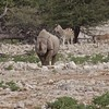 Southern White Rhino Arrives