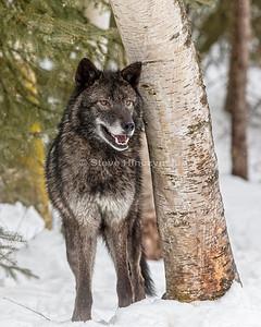Tundra Wolf 0233